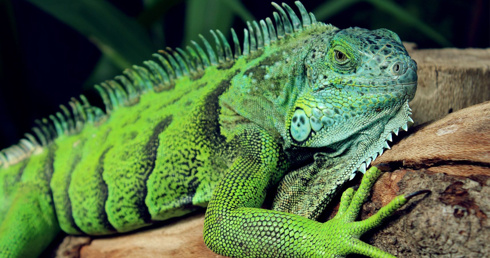 10 Iguana Facts And 5 Busted Myths For Iguana Awareness Day